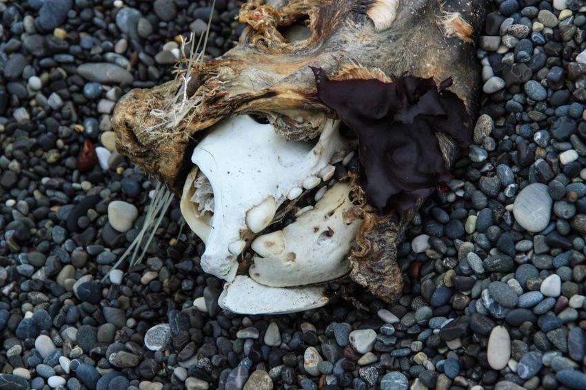 Animal Skull Animal Bone Animal Skeleton Skull Bone  Skeleton Animal Body Part Day Close-up Outdoors Nature Animal Themes Sea Lion Death Teeth Stones Beach Nature Circle Of Life And Death End Of Life