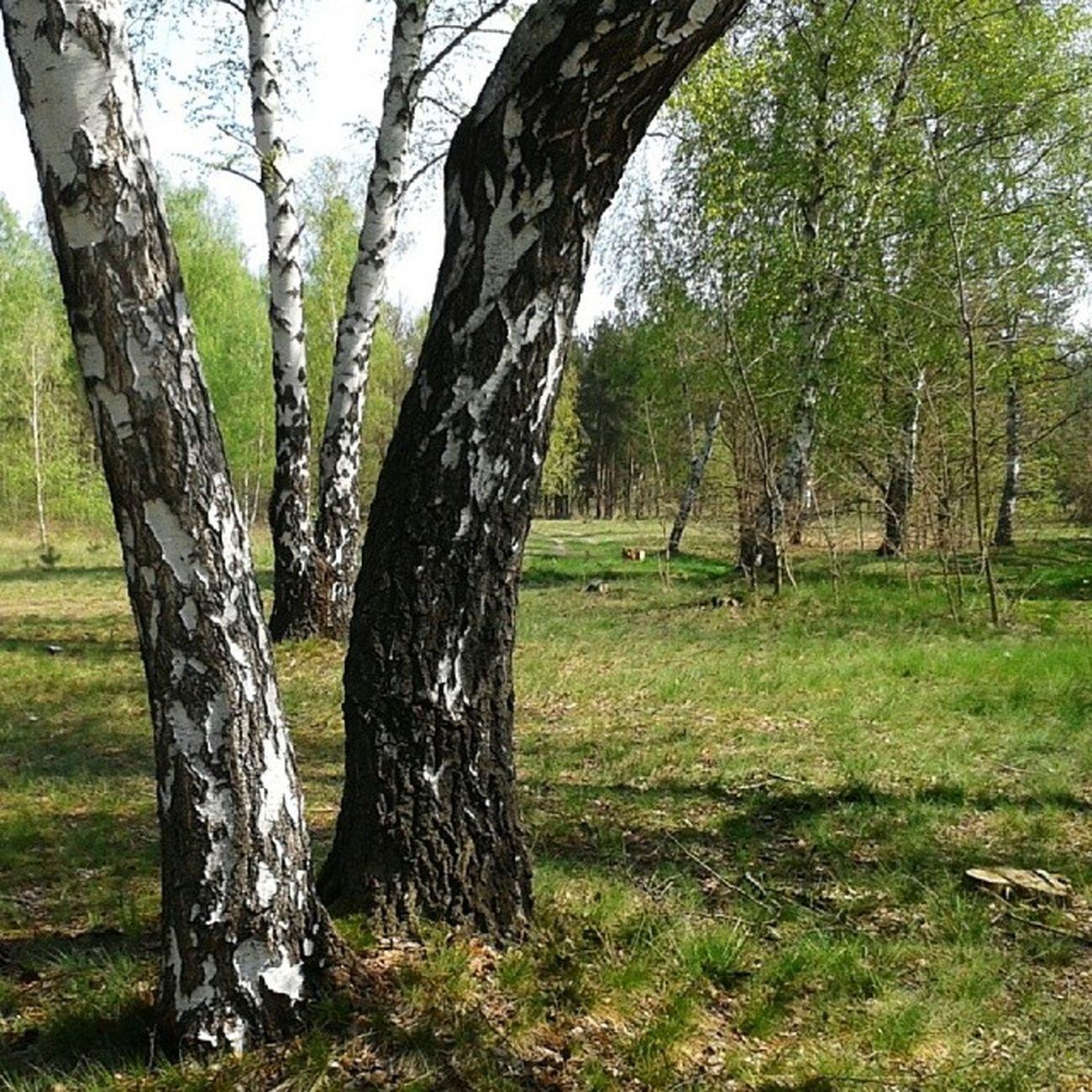 Brzoza Betula Spring Landscape Poland