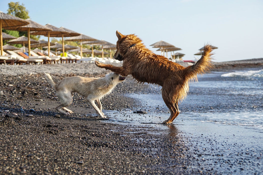 Animal Animal Themes Beach Day Dogs Domestic Animals Greece Herbivorous Livestock Mammal Non-urban Scene One Animal Outdoors Playing With The Animals Riverbank Santorini Kamari Kamari Beach