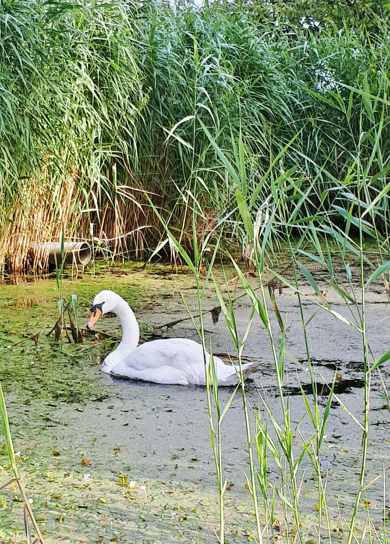 Lake Animals In The Wild Bird Animal Themes Water Day Swan One Animal Nature Outdoors Grass Swimming No People