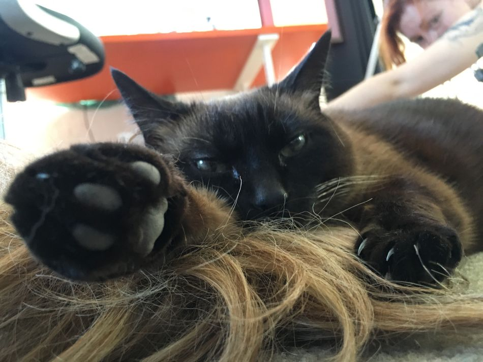 Animal Themes Domestic Animals Pets Mammal Close-up Indoors  Stretching Cat Wig Siamese Cat Staring Paw Stretch Reach Reaching Out Lazy Relaxing Hanging Out Feline No Fucks Given  Talk To The Hand Hand Claw Day
