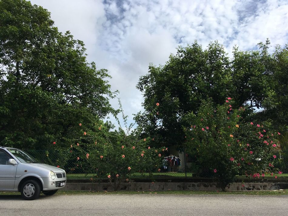 Tree Car Growth Sky Transportation Outdoors Land Vehicle Cloud - Sky Day Nature No People Malaysia Green Color Beauty In Nature Tranquil Scene Tranquility Tree Nature Street Landscape Hibiscus Flowers Pahang, Malaysia Cars