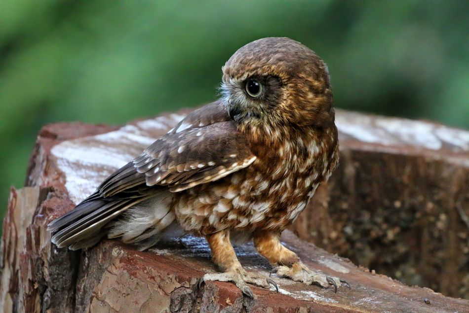 Boobook Owl Bird Animals In The Wild One Animal Animal Themes Animal Wildlife Focus On Foreground Perching Nature No People Day Close-up Outdoors Bird Of Prey