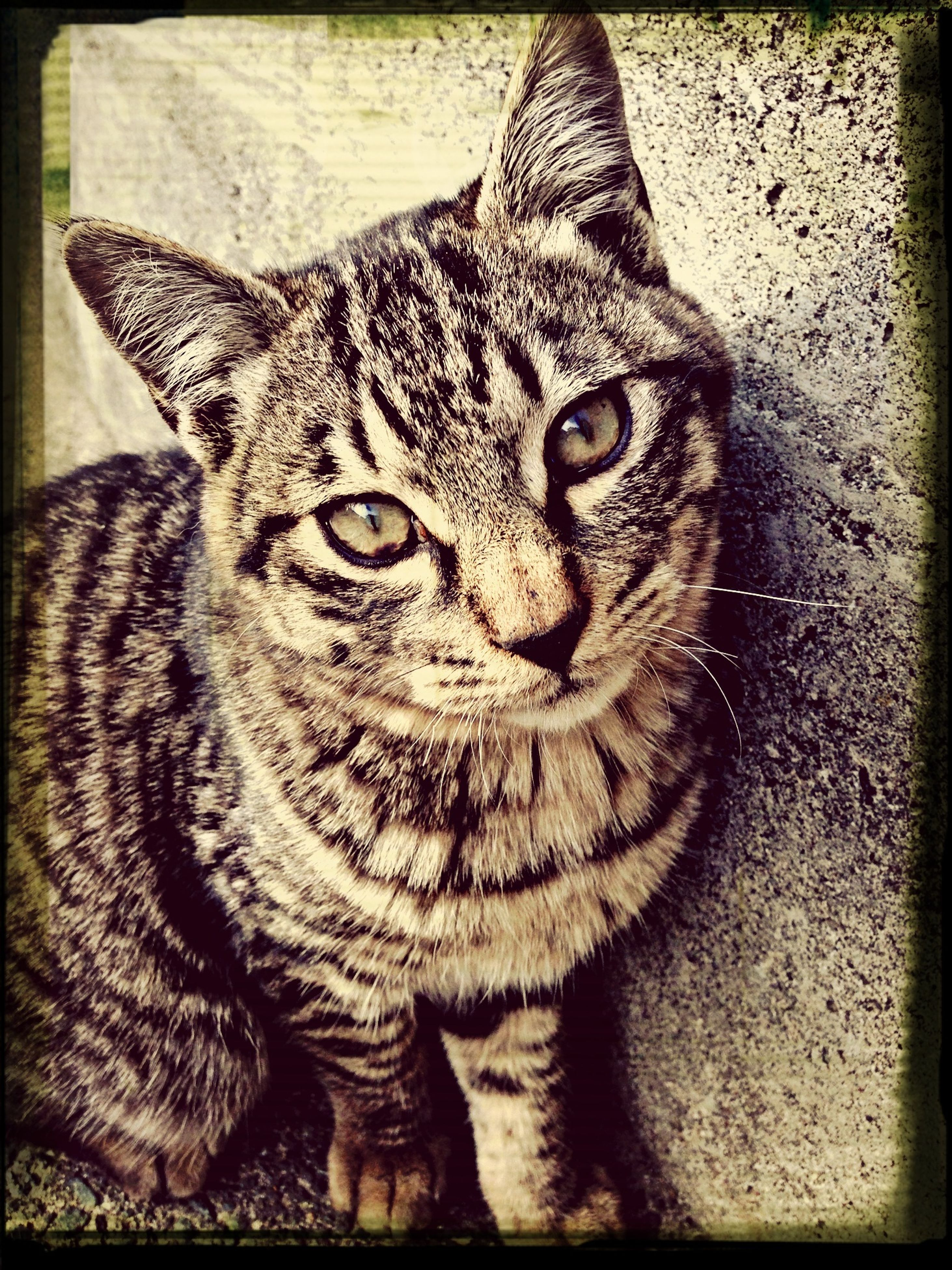 one animal, animal themes, mammal, transfer print, pets, portrait, domestic animals, looking at camera, domestic cat, feline, whisker, cat, auto post production filter, animal head, close-up, front view, no people, relaxation, staring