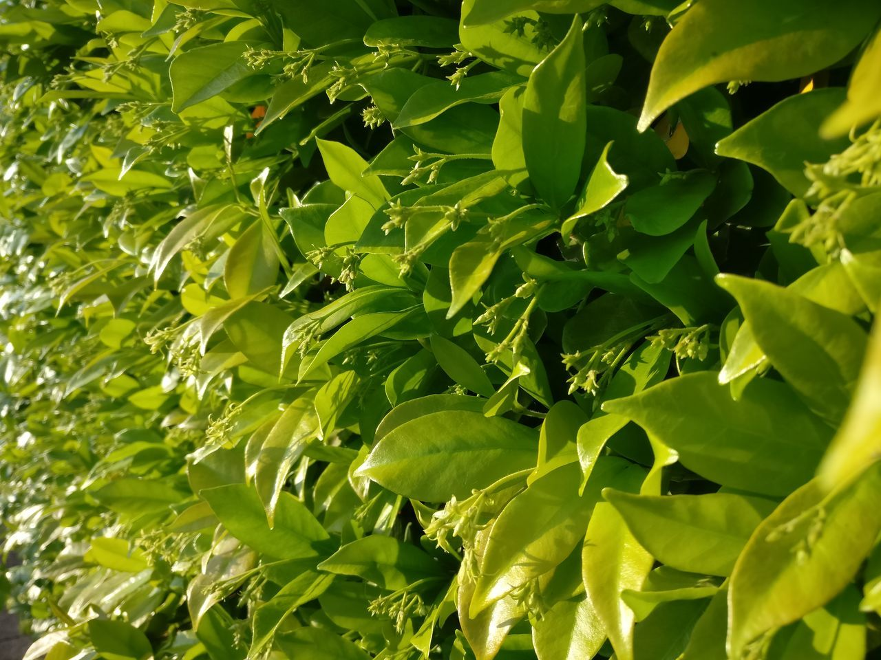 green color, leaf, growth, no people, nature, plant, food, full frame, food and drink, vegetable, day, outdoors, healthy eating, freshness, beauty in nature, close-up