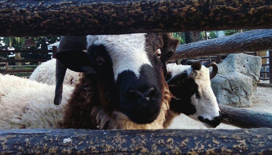 Animal Themes Mammal Looking At Camera Animal Head  Close-up Sheep Looking At Camera Looking At Me Sheep Eyes Animals