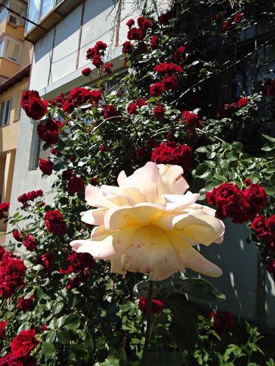 Flowers Gloria Dei Novorossiysk Roses Peace Plants Red Roses Roses Shrub Roses Summer Vegetation Verdure