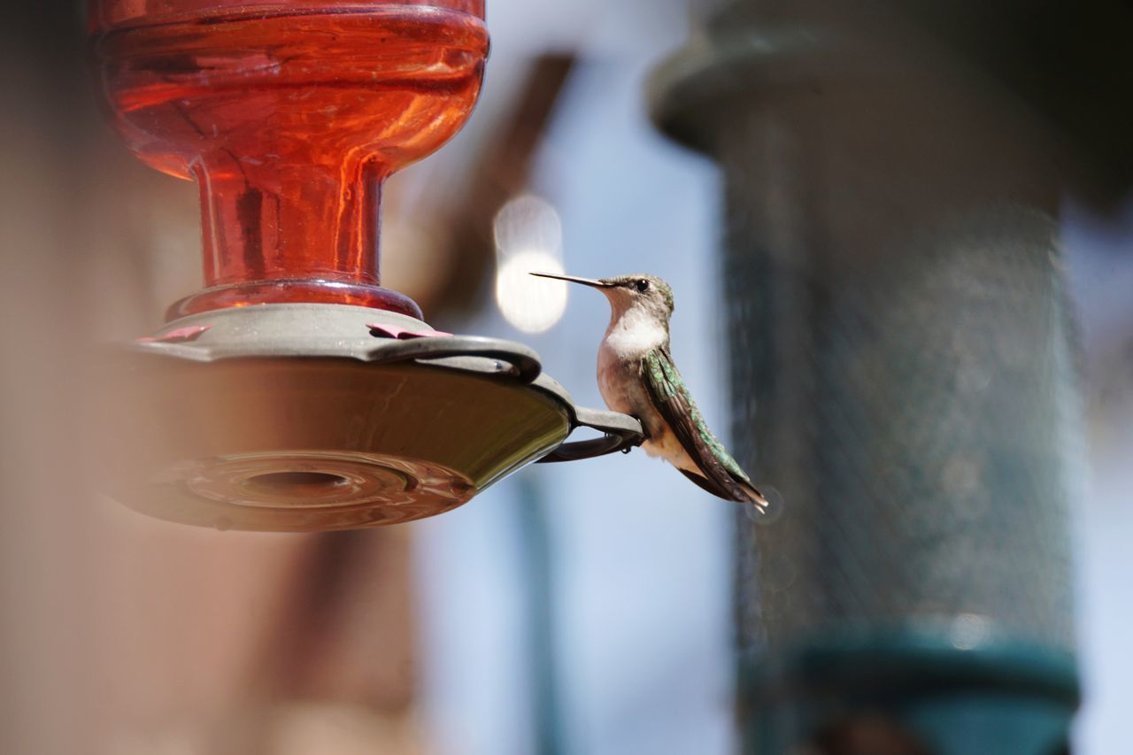 bird, bird feeder, animals in the wild, animal themes, one animal, hummingbird, animal wildlife, no people, motion, selective focus, focus on foreground, food and drink, pipe - tube, drink, day, outdoors, close-up, beak, nature, perching, freshness