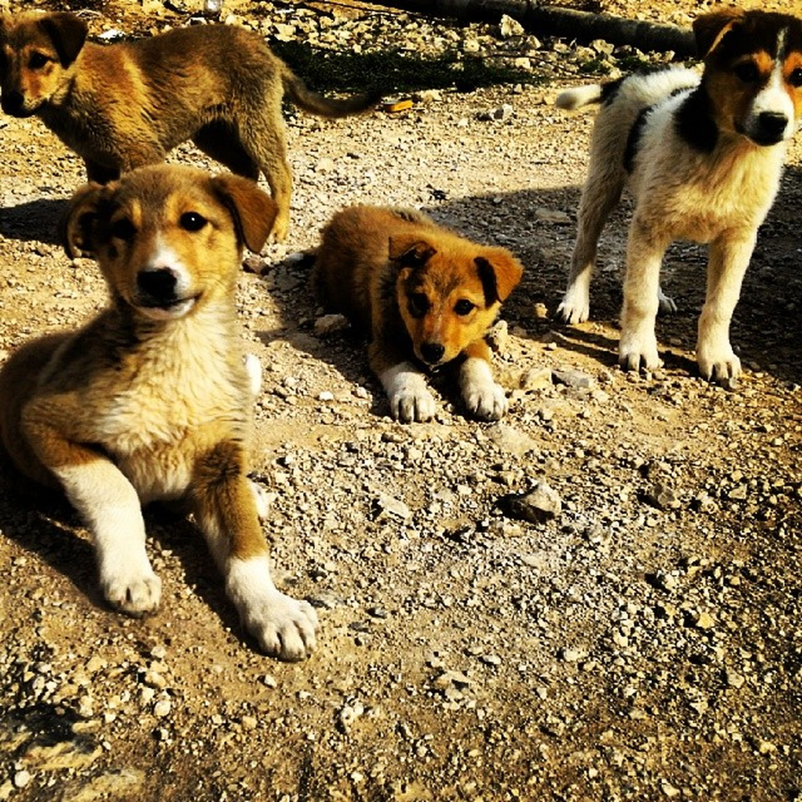 animal themes, mammal, domestic animals, pets, dog, looking at camera, two animals, young animal, portrait, togetherness, one animal, field, sitting, day, outdoors, zoology, three animals, high angle view, no people, vertebrate