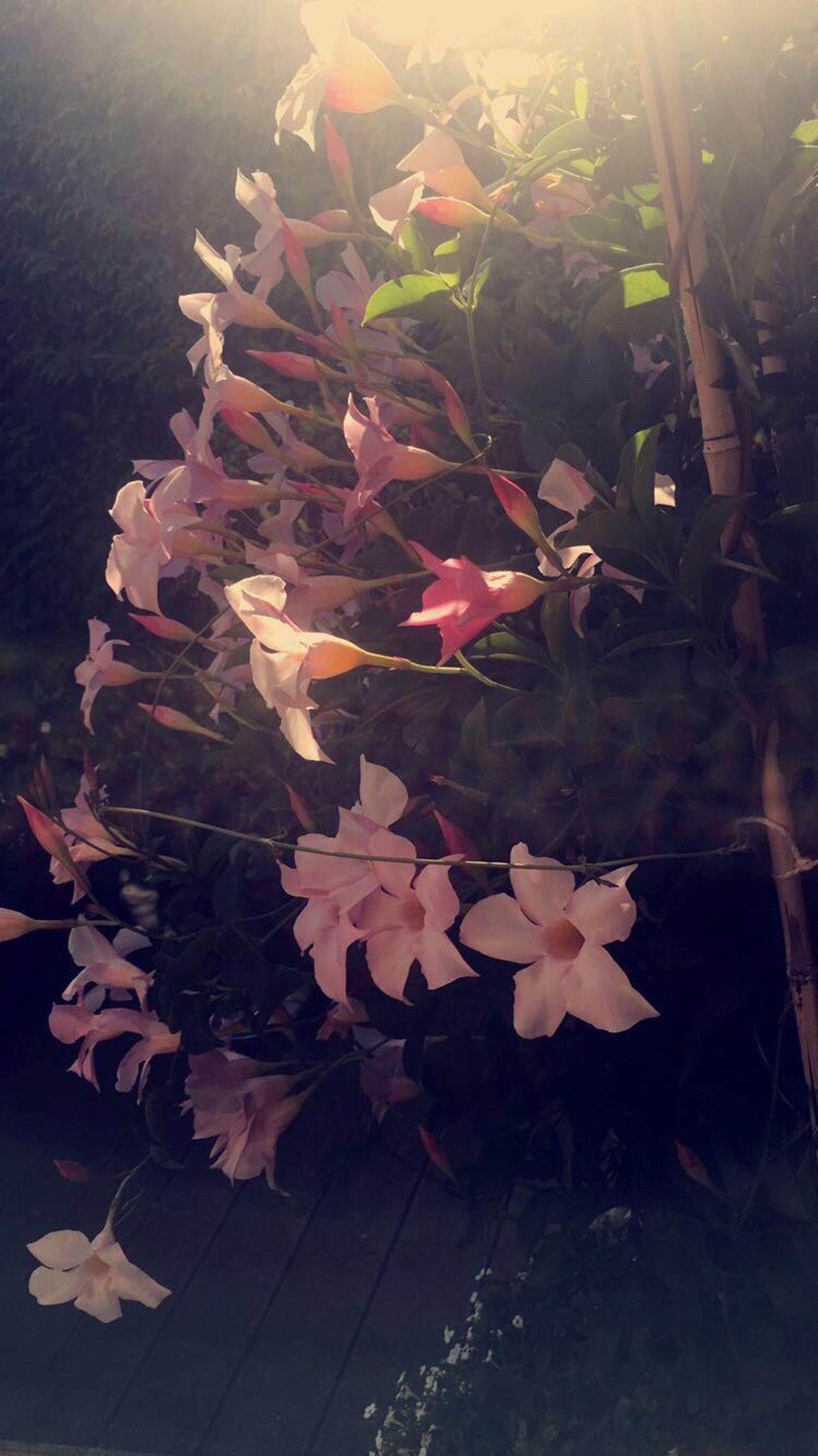 Garden Flowers Flower Snapchat Me 👉🏻 lifewithlorena Photography Flowerporn Nature Pink Love Snapchat 👉🏻 lifewithlorena Enjoying Life Summer IPhoneography Hey✌ Like4like Home Photo C4c POTD Polish Followme Follow Snap 👉🏻 lifewithlorena Europe Iphonesia