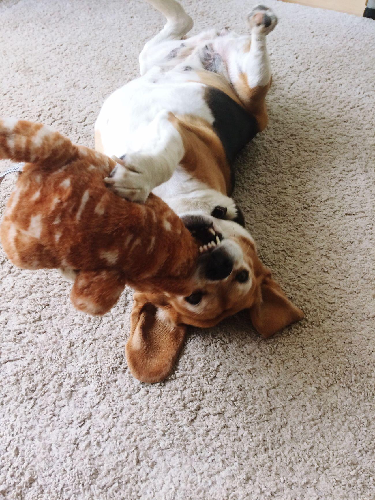Dog Domestic Animals Pets One Animal Beagle Beaglelove