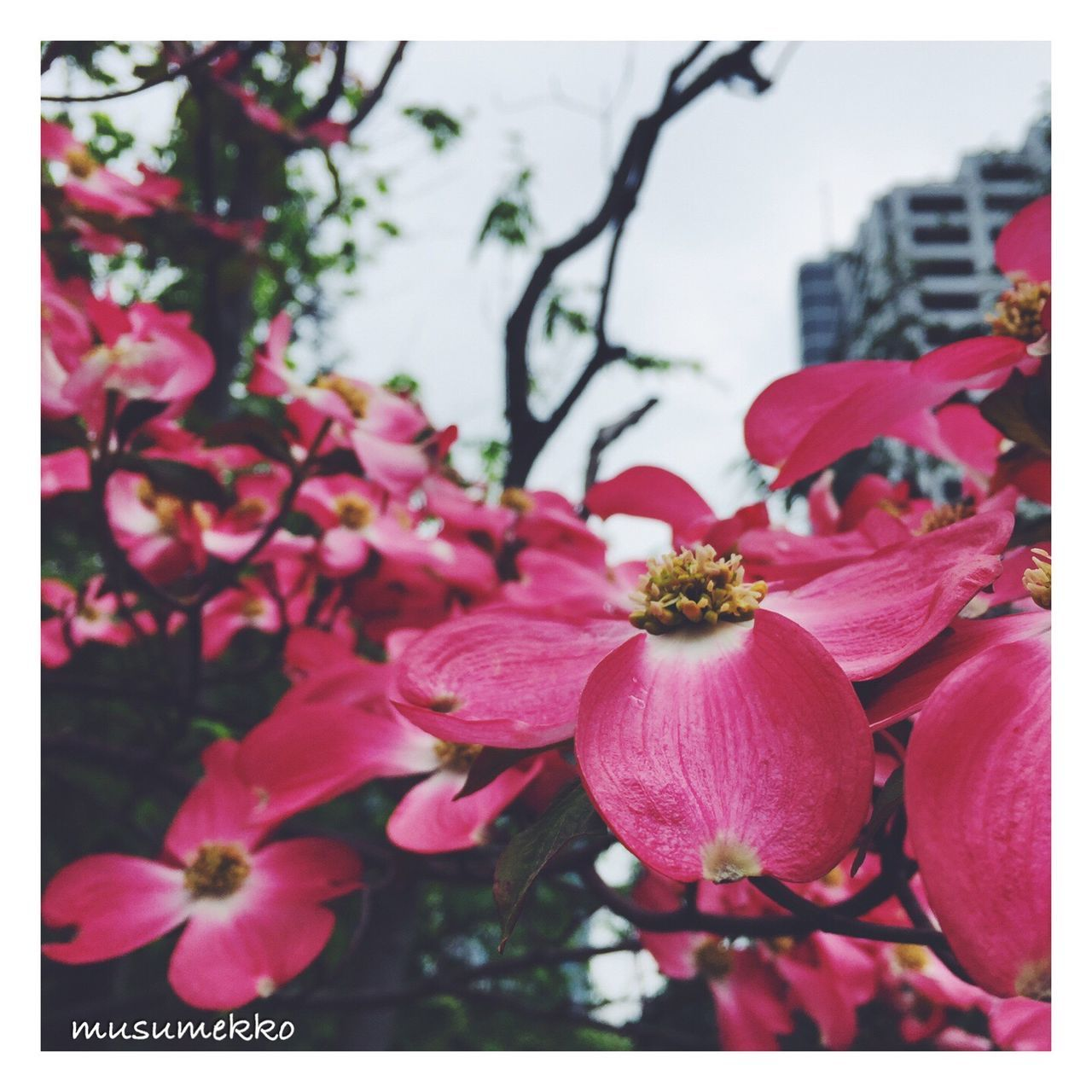 flower, fragility, petal, beauty in nature, nature, growth, flower head, freshness, no people, pink color, close-up, plant, blooming, outdoors, day, branch, tree