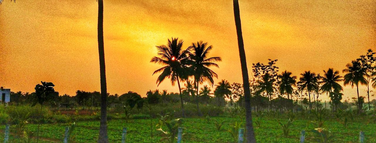 memerising scenes Dawn Sunset Trees Palm Tree Tree Sunset Nature Growth Beauty In Nature No People Sky