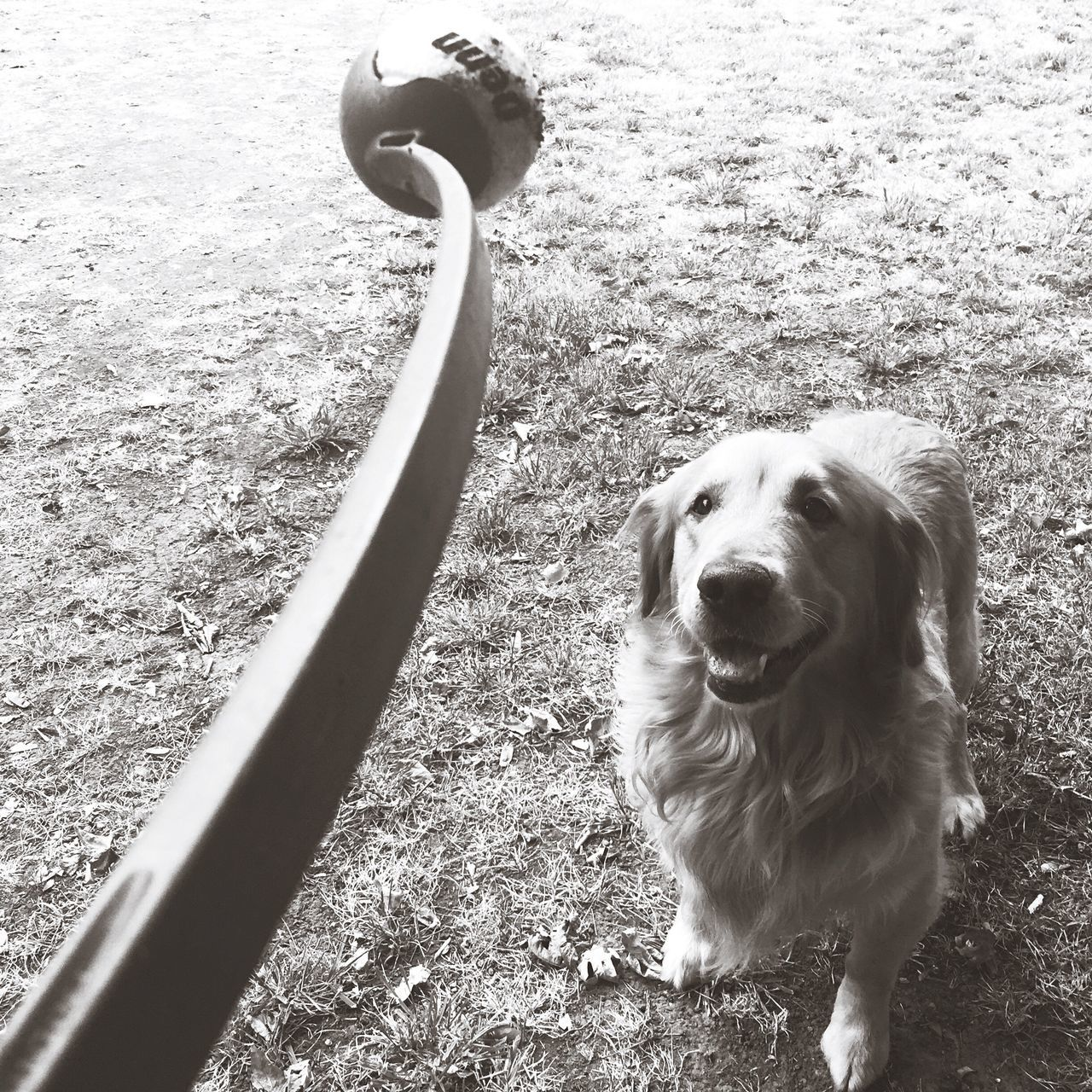 Obsession Throwing The Ball Chuck It Tennis Ball Fetch Golden Retriever Cooper Hanging Out Good Dog Taking Photos Backyard Backyard Photography Home Is Where The Art Is Having Fun Monochrome Photography