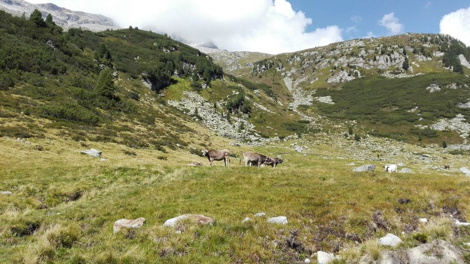 Animal Themes Austria Beauty In Nature Cow Pasture Cows Cows Grazing Cows In A Field Day Domestic Animals Grass Grazing Green Color Hiking Landscape Livestock Mammal Mountain Mountain Range Nature No People Outdoors Scenics Sky Tirol  Tranquility