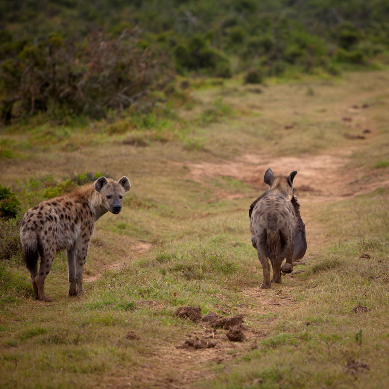 Hyenas scavenging South Africa Africa Animal Themes Animal Wildlife Animals In The Wild Cheetah Day Eastern Cape Grass Hyena Hyenas Mammal Nature Nature Nature_collection No People Outdoors Safari Safari Animals Safari Park South Africa Wild Wildlife
