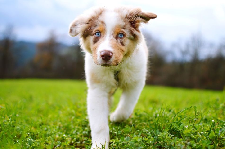 Beautiful stock photos of puppy, Animal Themes, Australian Shepherd, Canine, Day