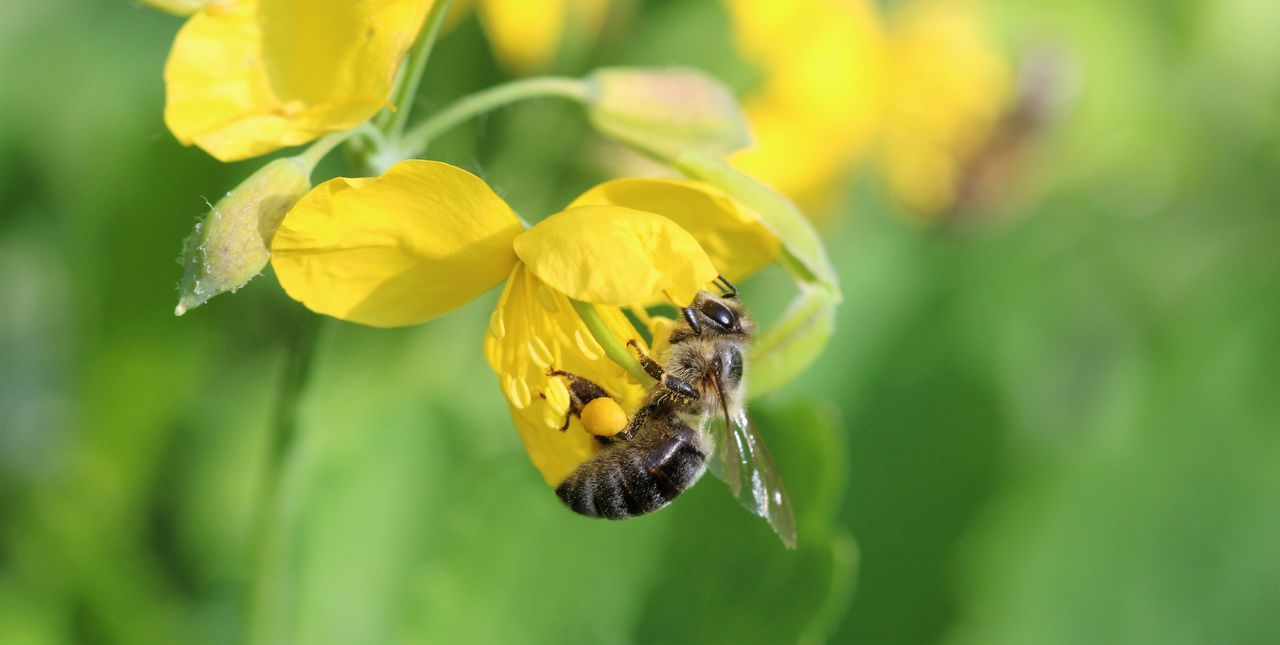 one animal, insect, flower, yellow, animal themes, nature, animals in the wild, petal, fragility, growth, animal wildlife, plant, beauty in nature, freshness, day, close-up, outdoors, focus on foreground, no people, bee, pollination, flower head