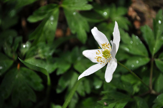 Anemone Nemorosa Beauty In Nature Blooming Botany Close-up Day Fine Art Photography Flower Head Focus On Foreground Fragility Freshness Green Color Growth In Bloom Colour Of Life Nature Outdoors Petal Plant Pollen Selective Focus Stamen White Natures Diversities Wood Anemone