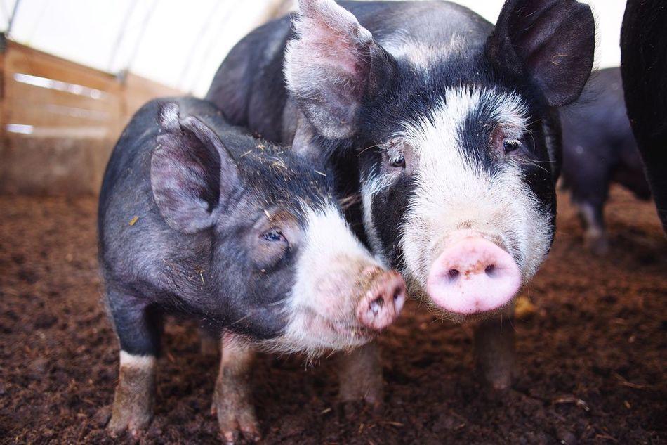 Beautiful stock photos of farm, Animal Family, Animal Themes, Day, Domestic Animals