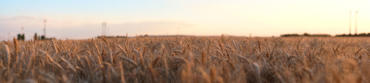 Agriculture Beauty In Nature Cereal Plant Day Growth Landscape Nature No People Outdoors Panorama Panoramic Landscape Panoramic Photography Plant Rural Scene Sky Sunset Tranquil Scene Wheat