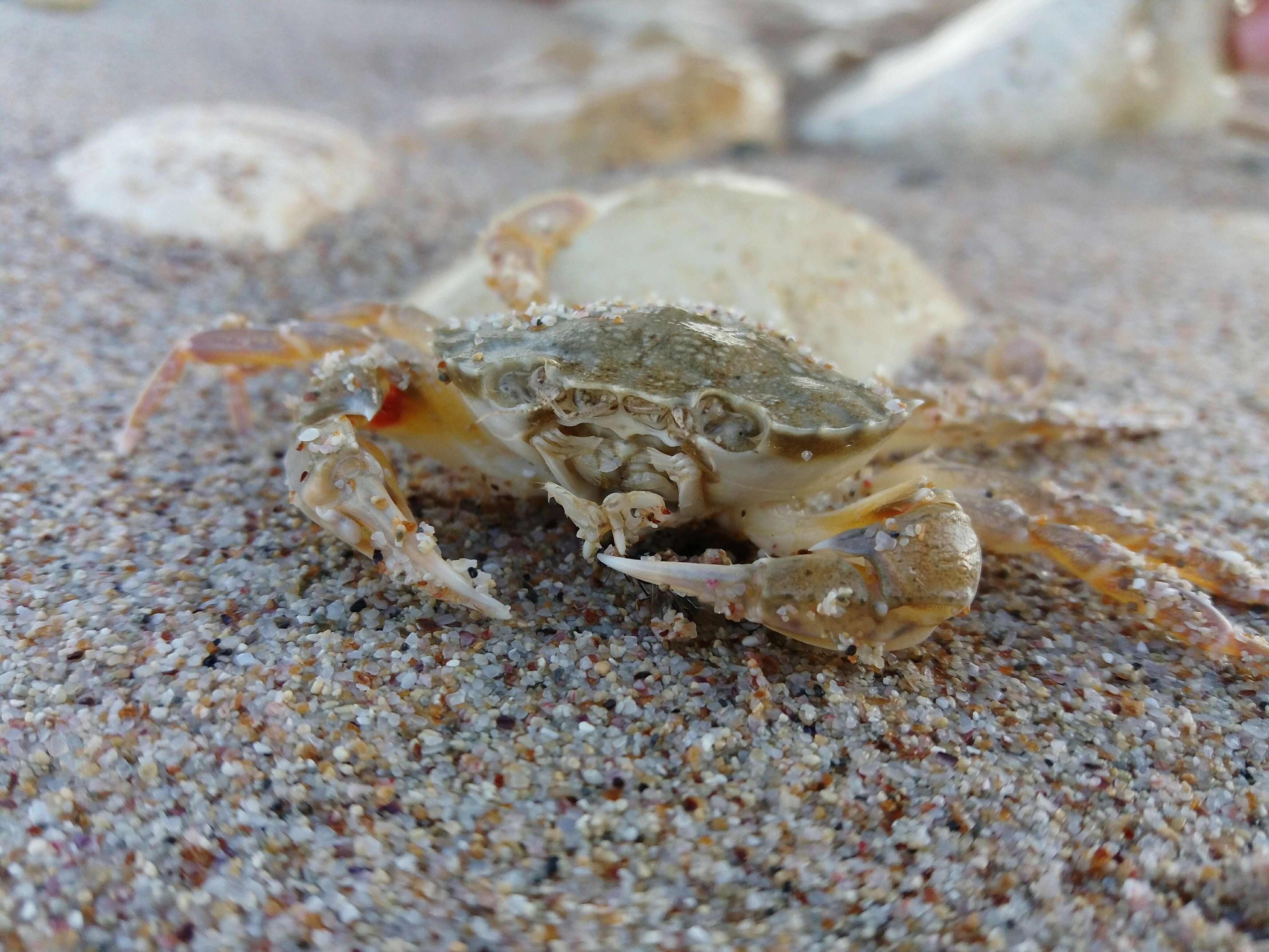 close-up, nature, selective focus, crab, day, outdoors, focus on foreground, no people, shell, amphibian, ground, beauty in nature, starfish