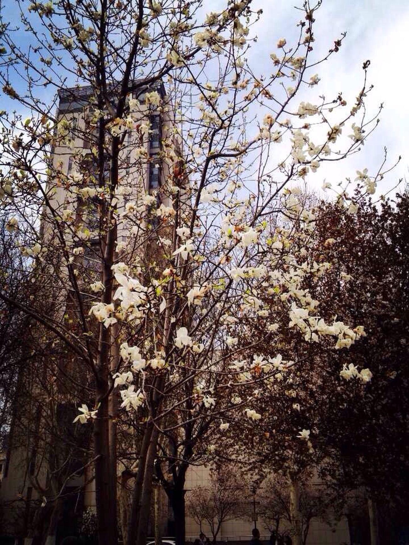 Spring Sakura (˃᷄ꇴ˂᷅ ૂ๑)
