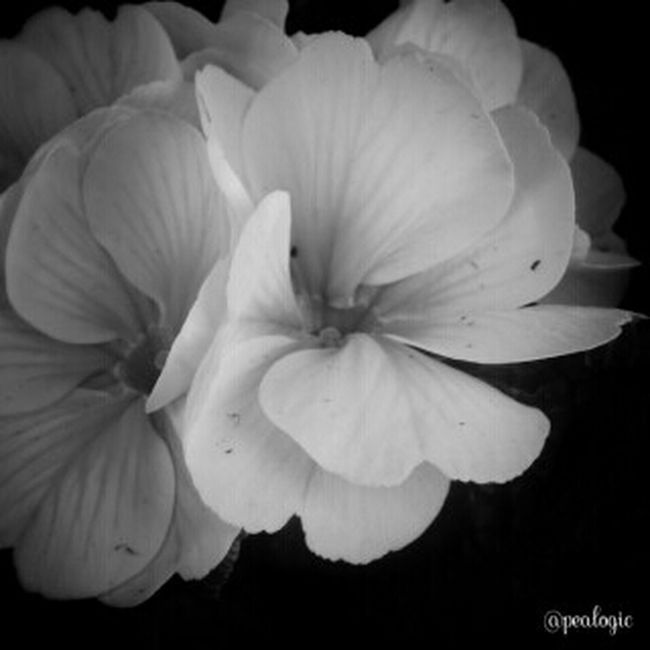 Flowers Blackandwhite Simplicity Noir Et Blanc Blancoynegro Bws_worldwide Eye4photography  Softtones Ee_daily Greenthumb Bwstyles_gf Bwsquare Bwstyleoftheday Bws_artist_eu EE_Daily: Black And White