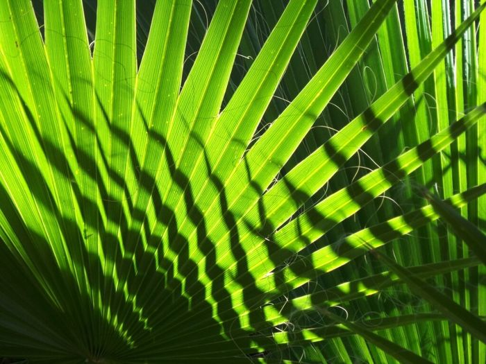 Fan Palm Palm Fronds Palm Tree Palm Trees Light And Shadow Green Leaves Green Designs In Nature Shadow And Light Patterns Desert Palm California Fan Palm Desert Landscape Desert Plants Nature_collection Naturelovers Pattern, Texture, Shape And Form Sunlit Palm Springs Plants Shapes