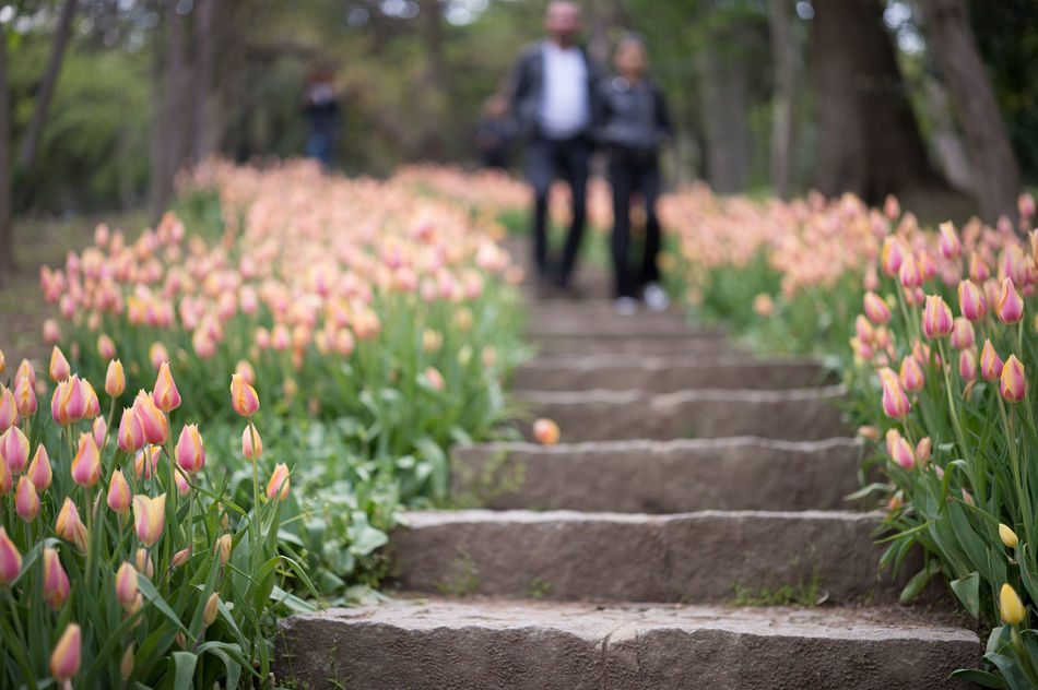 Stairway of Tulips I Beauty In Nature Bloom Blooming Bokeh Field Of Flowers Flower Head Flowers Focus On Foreground Fragility Freshness Growth Nature Nature Photography Nature_collection Outdoors Park - Man Made Space Pink Pink Color Selective Focus Spring Springtime Stairs Stairway Stairways Tulips
