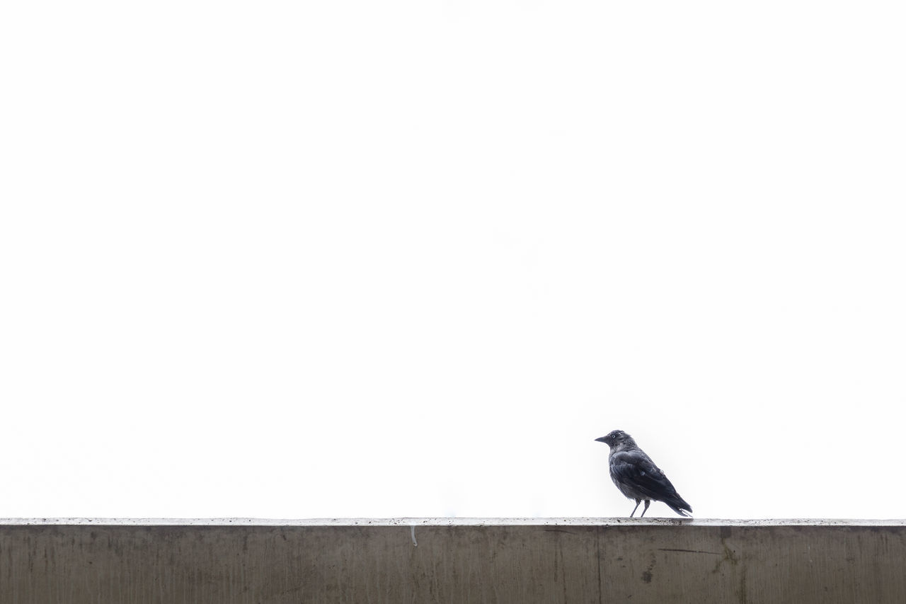 Raven On Retaining Wall Against Clear Sky