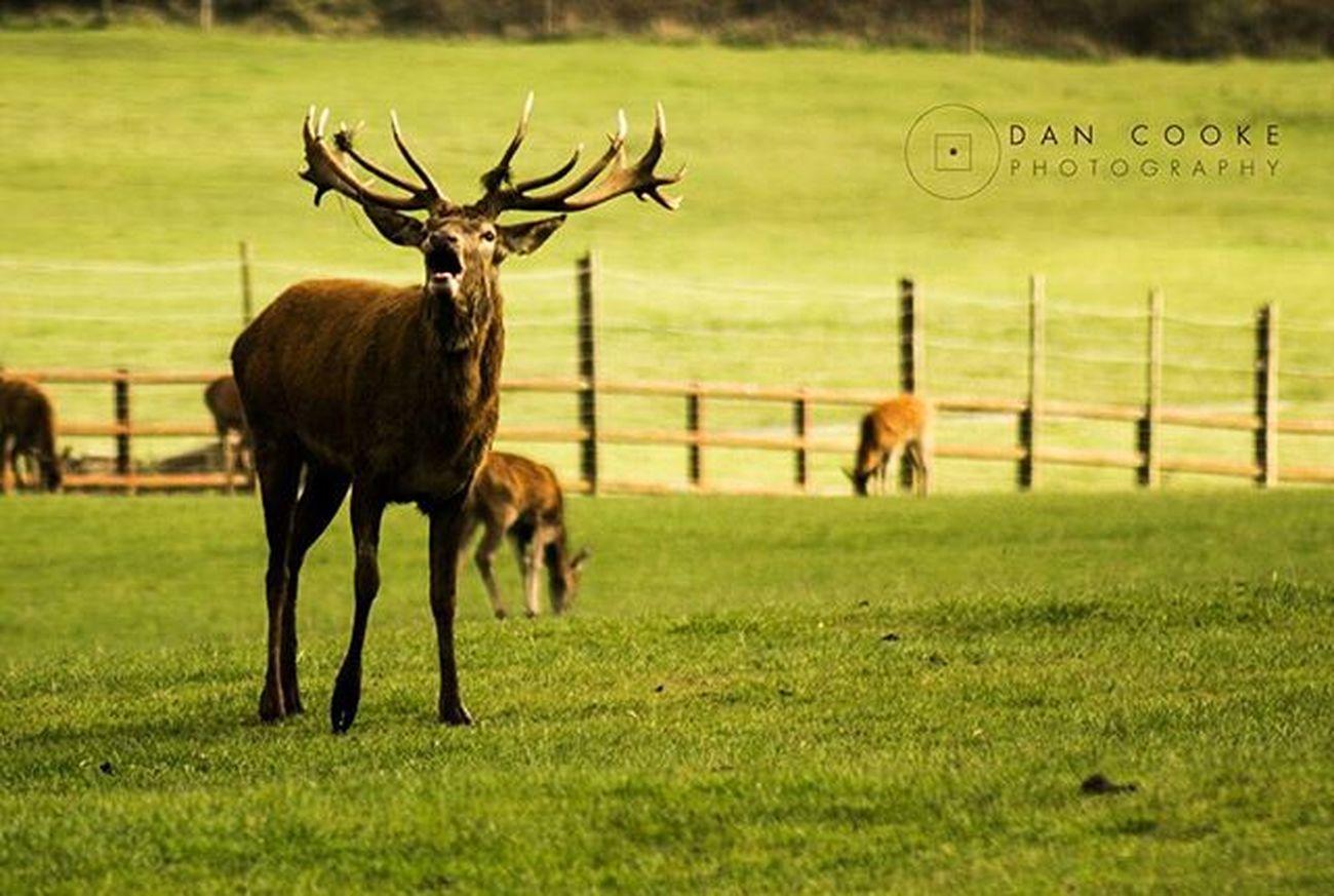 Autumn Stag Stag Deer Rutting Ruttingseason Longleatsafaripark @longleatofficial