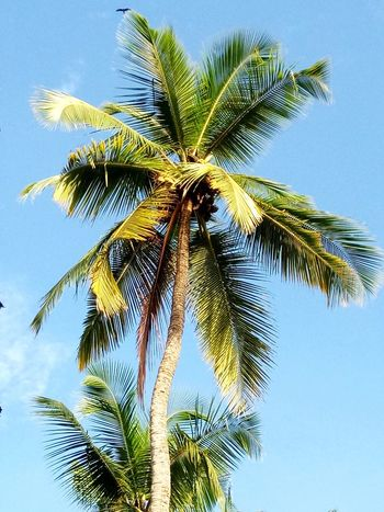 Palm Tree Tree Coconut Palm Tree Nature Green Color Leaf Branch Day Blue Sky Outdoors No People Low Angle View Beauty In Nature Close-up Clear Sky Goa ❤❤ Move On Eyeem Love To Take Photos ❤ Eyeemphoto Emography PhonePhotography Love Photography EyeEmNewHere Photo Of The Day