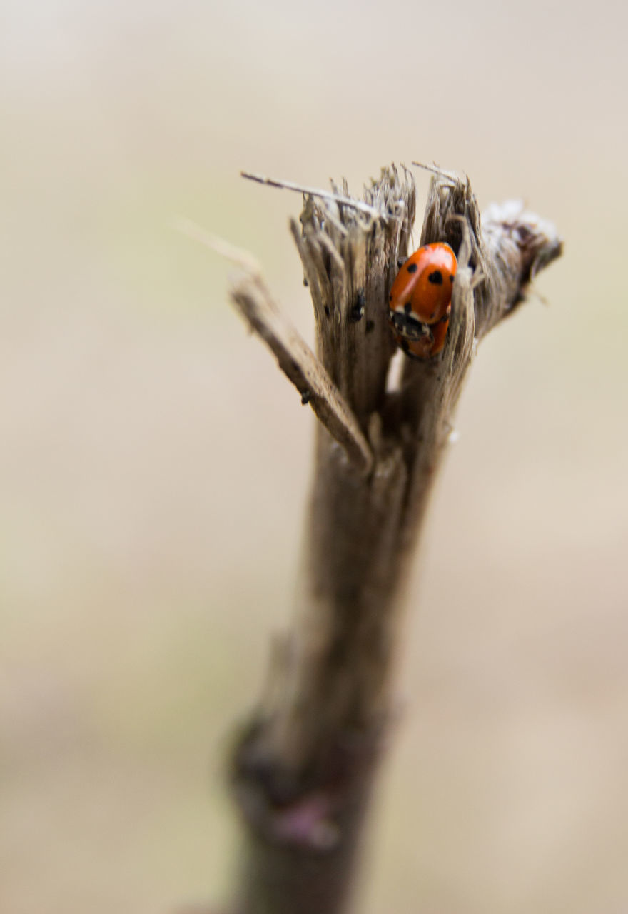 insect, animals in the wild, animal themes, one animal, close-up, animal wildlife, outdoors, day, no people, nature, ladybug