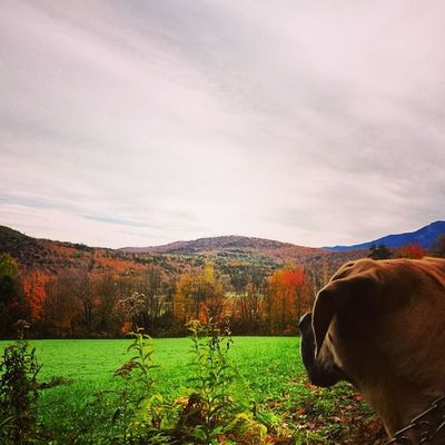 Galley says there are still some good color left on the leaves. We love fall. Fallcolors Fall Igvermont Ignewengland mtmansfield mastidane daniff instapets instadog petsofinstagram photooftheday petphotography