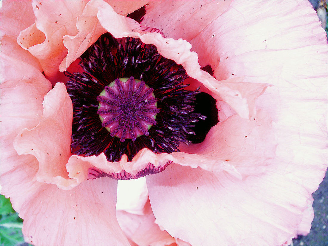 Flower Flower Head Poppy Close-up Pink Color S'gravenland Netherlands Detail Macro