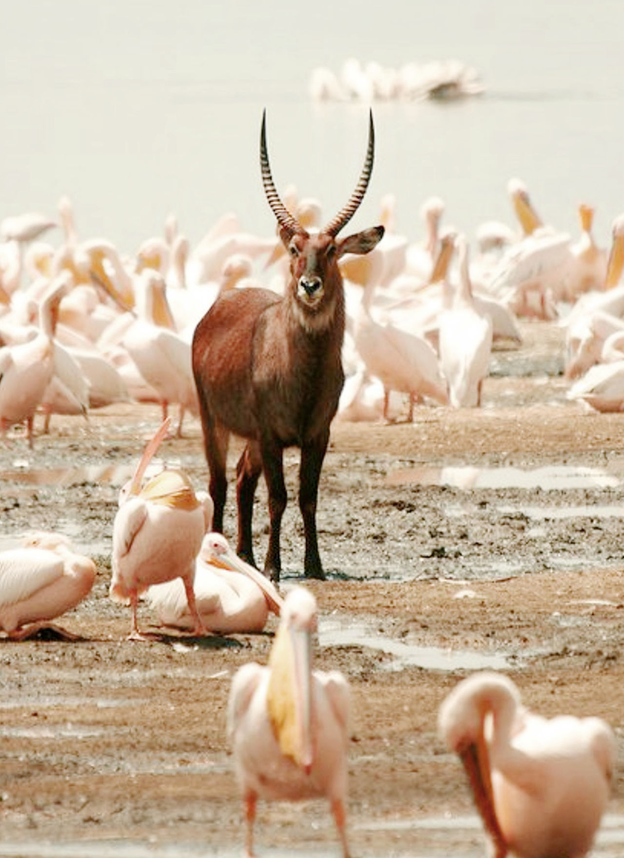 Animal Themes Animal Wildlife Animals In The Wild Antler Bird Day Flamingo Flying Large Group Of Animals Mammal Nature No People Outdoors Water