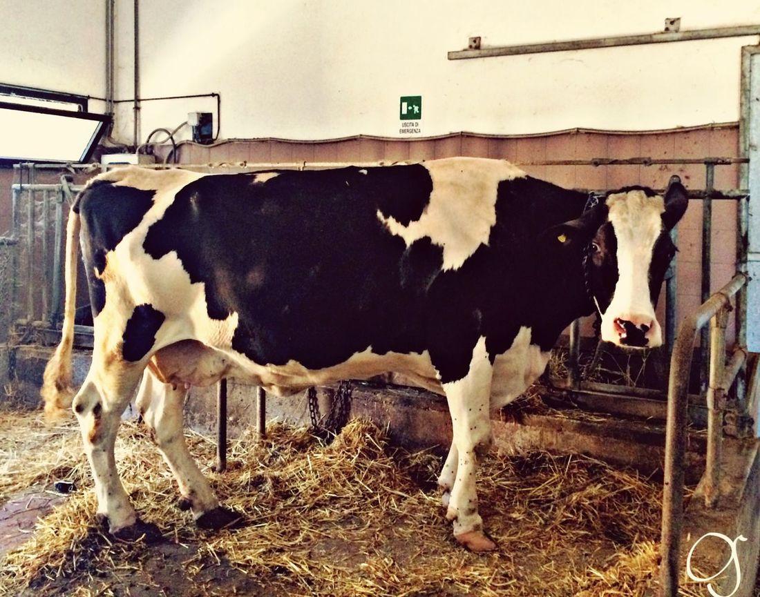 Job Passion Vet Student Vet Life Cow Judith Lovely