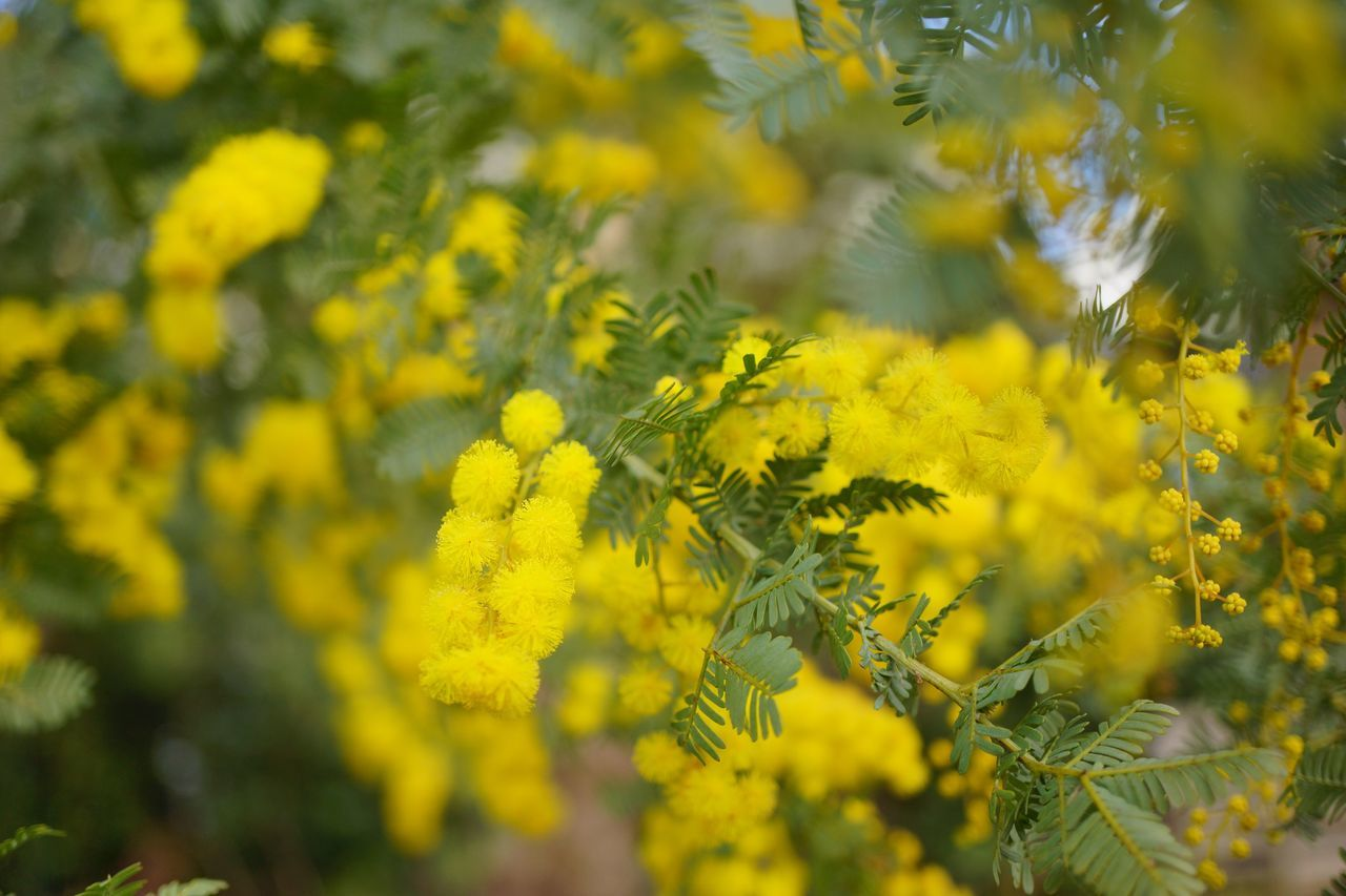 Yellow Flower Mimosa Flower Beauty In Nature Nature Photography Nature Yellow The Purist (no Edit, No Filter) Bokeh Bokeh Photography EyeEm Best Shots - Flowers EyeEm Best Shots - Nature Nature In The City EyeEm Best Shots Snapshot Taking Photos Walking Around お写ん歩