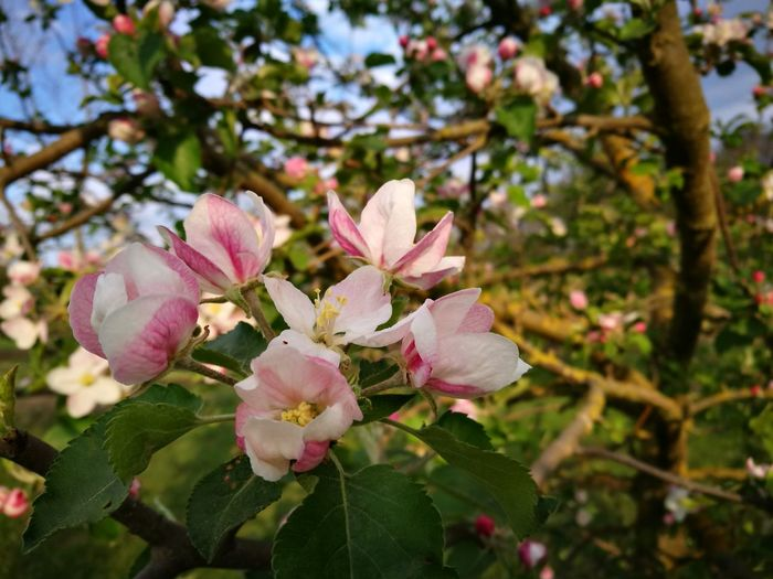 Flower Pink Color Beauty In Nature Tree Springtime Nature Freshness Fragility Petal Growth Flower Head No People Close-up Day Blossom Outdoors Branch