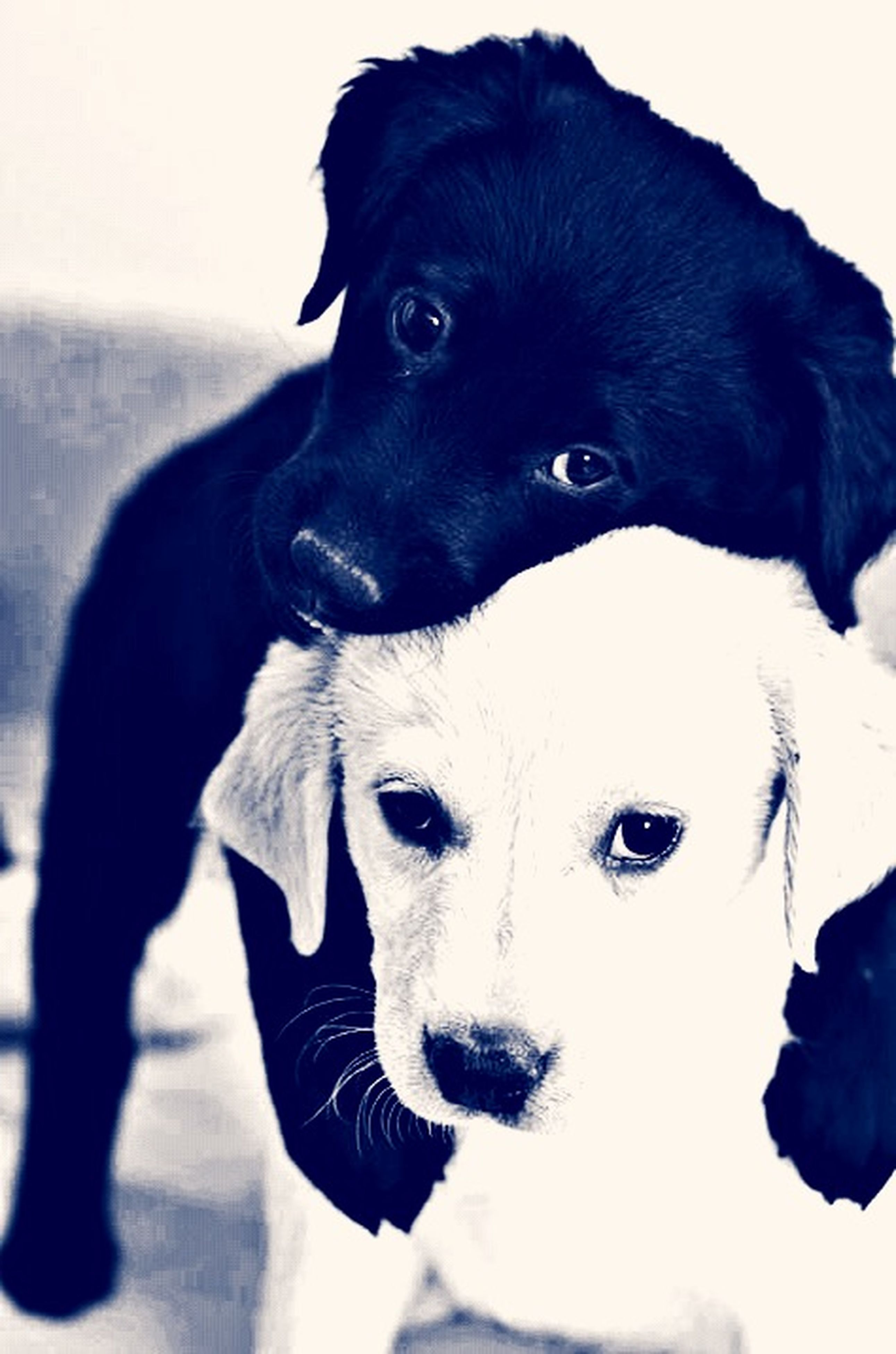 pets, dog, domestic animals, looking at camera, portrait, one animal, animal themes, indoors, mammal, black color, close-up, animal head, front view, studio shot, staring, no people, home interior, black, white background