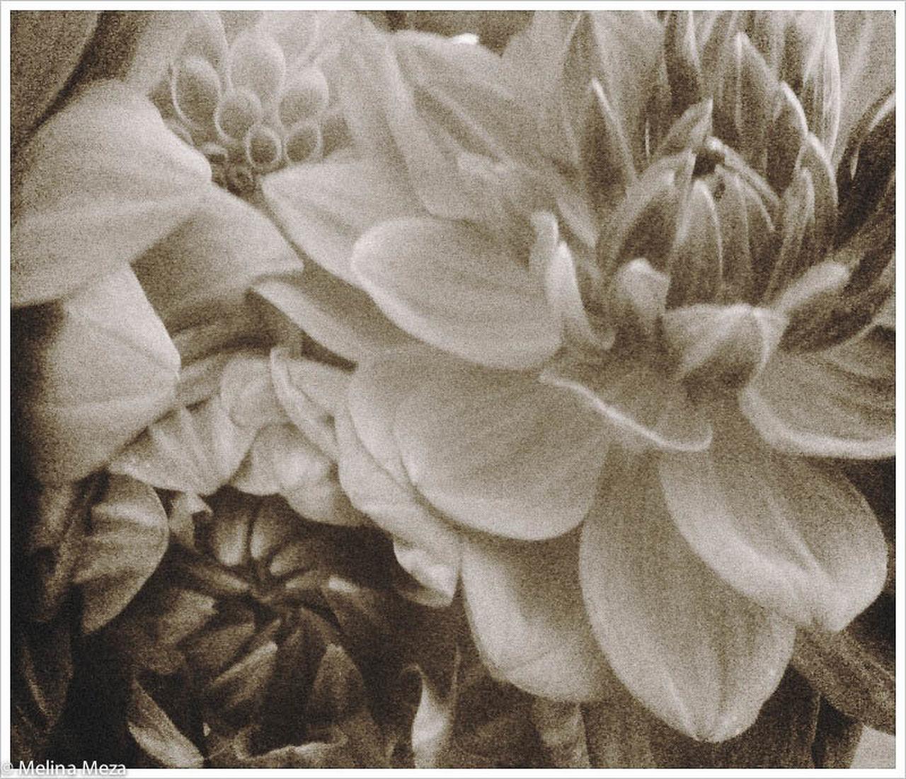 Sepia Dahlias Botany Dahlias Elégance Indoors  Macro Softness Springtime Vintage Looking Dahlias, Flowers, Boquet Of Flowers,