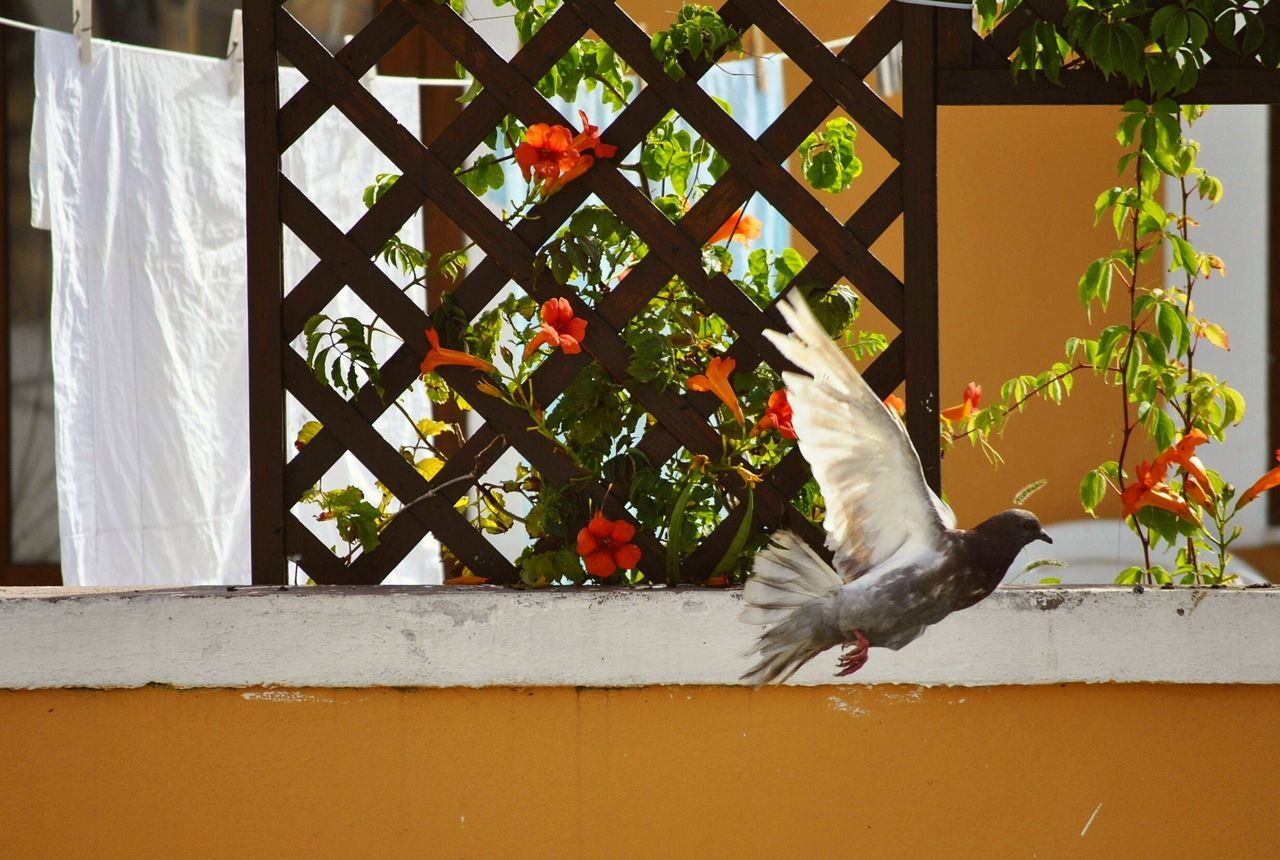 Pigeon Bird Flying Wall Arbor Balcony Orange Color Flowers Bignonia Building Exterior Capture The Moment Nature Lover Italy