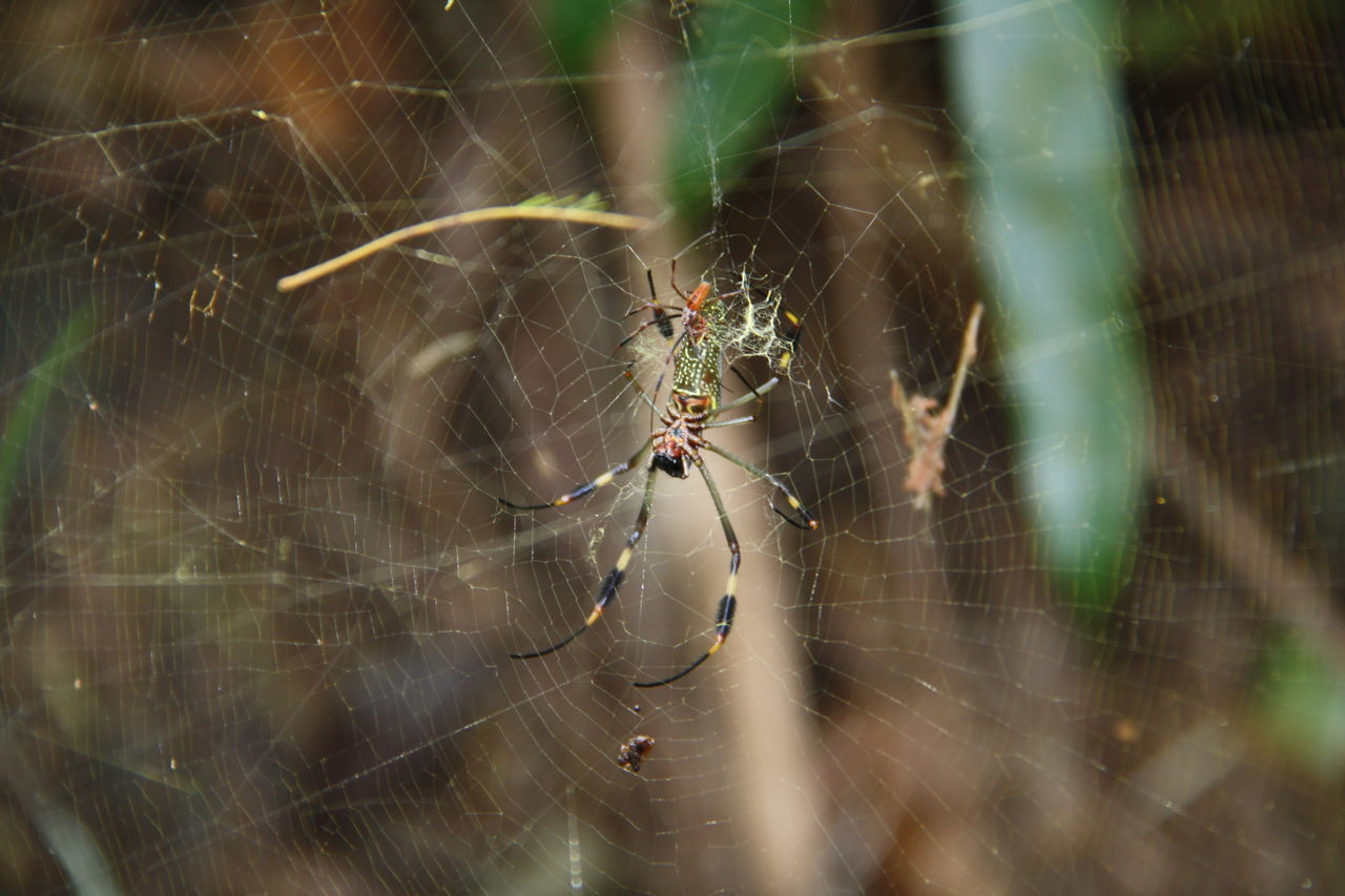 spider web, spider, animal themes, web, one animal, animals in the wild, insect, survival, nature, outdoors, day, animal leg, animal wildlife, close-up, focus on foreground, no people, fragility