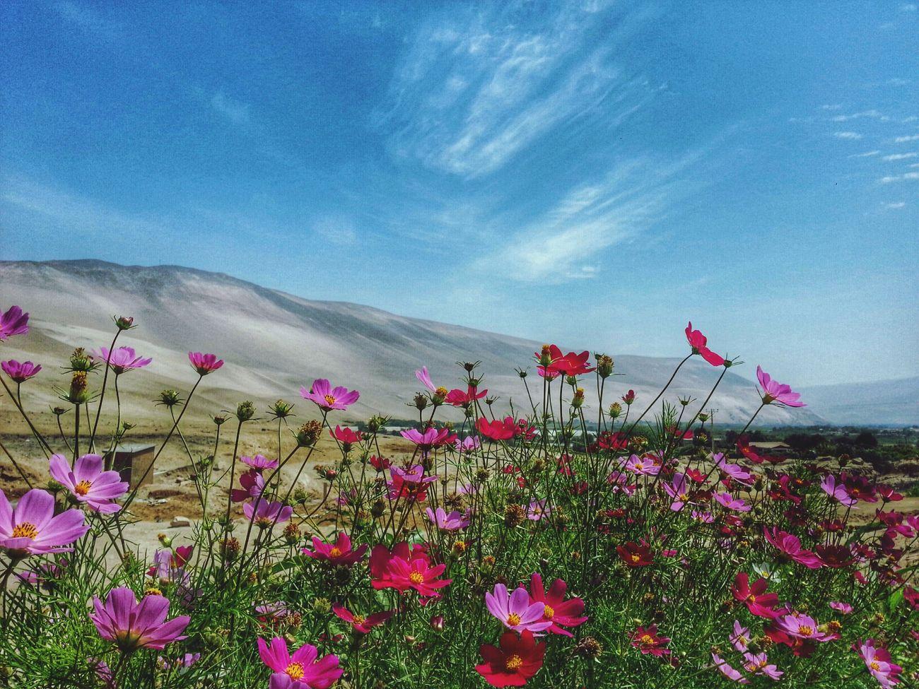 Colours Flowers Flores Nature Arica -chilean