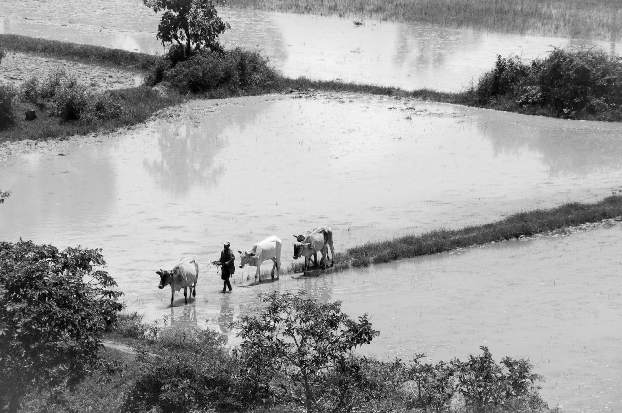 Agriculture Blackandwhite Cambodia Cow Farming Man Rice Field Water