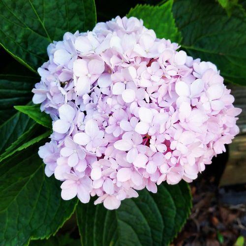 Taking Photos Beautiful Iloveit Enjoying Life Lavender Beaty Amazing View Pretty♡ Like Ortensia Morada Flores