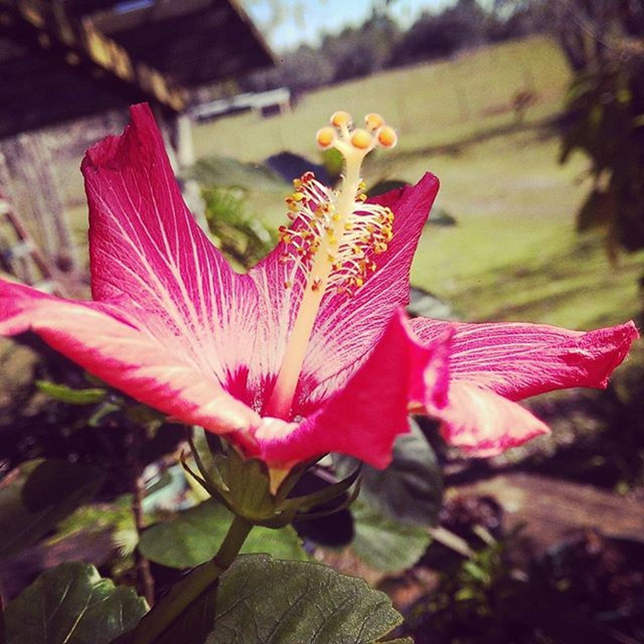 flower, growth, petal, nature, plant, fragility, beauty in nature, freshness, flower head, day, no people, close-up, pink color, outdoors, focus on foreground, stamen, insect, blooming, hibiscus, day lily
