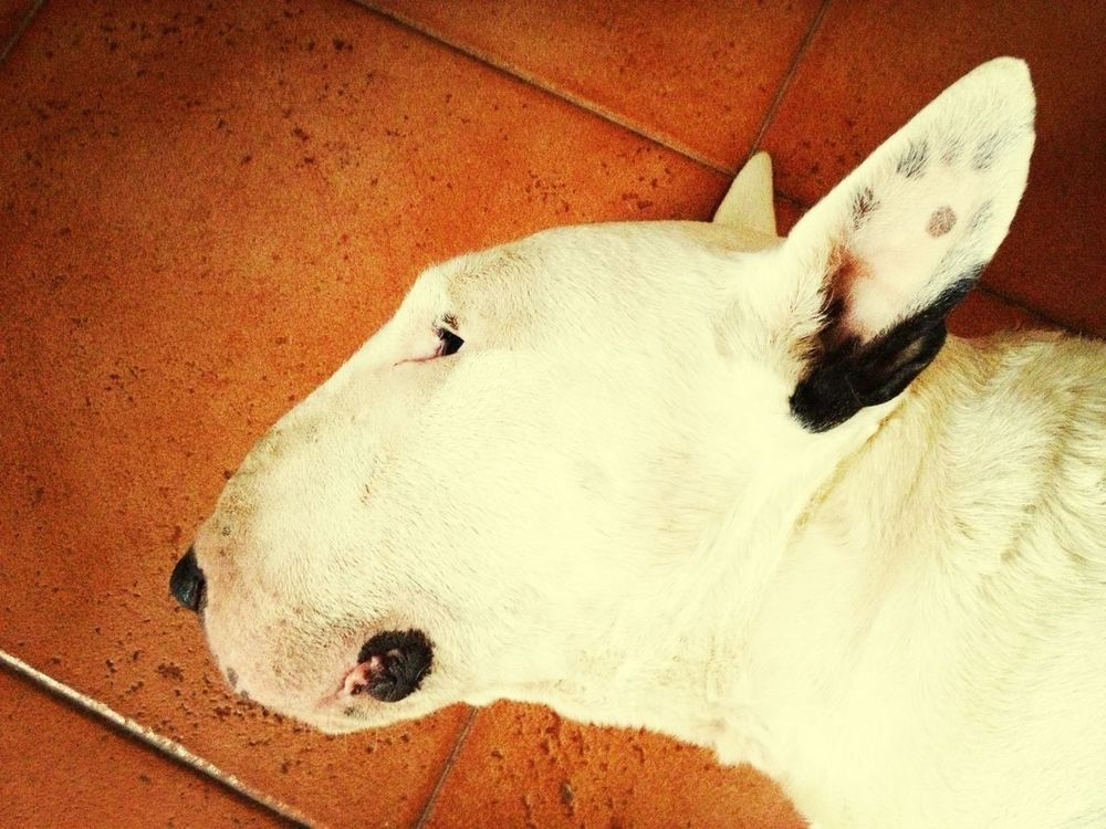 Bullterrier Muñito I Love My Dog