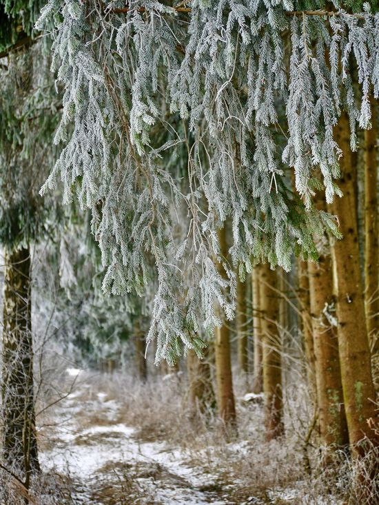 Winterwald Cold Temperature Extreme Weather Forest Landscape Nature No People Outdoors Rime On Tree Snow Tree Wintertime Winterwald